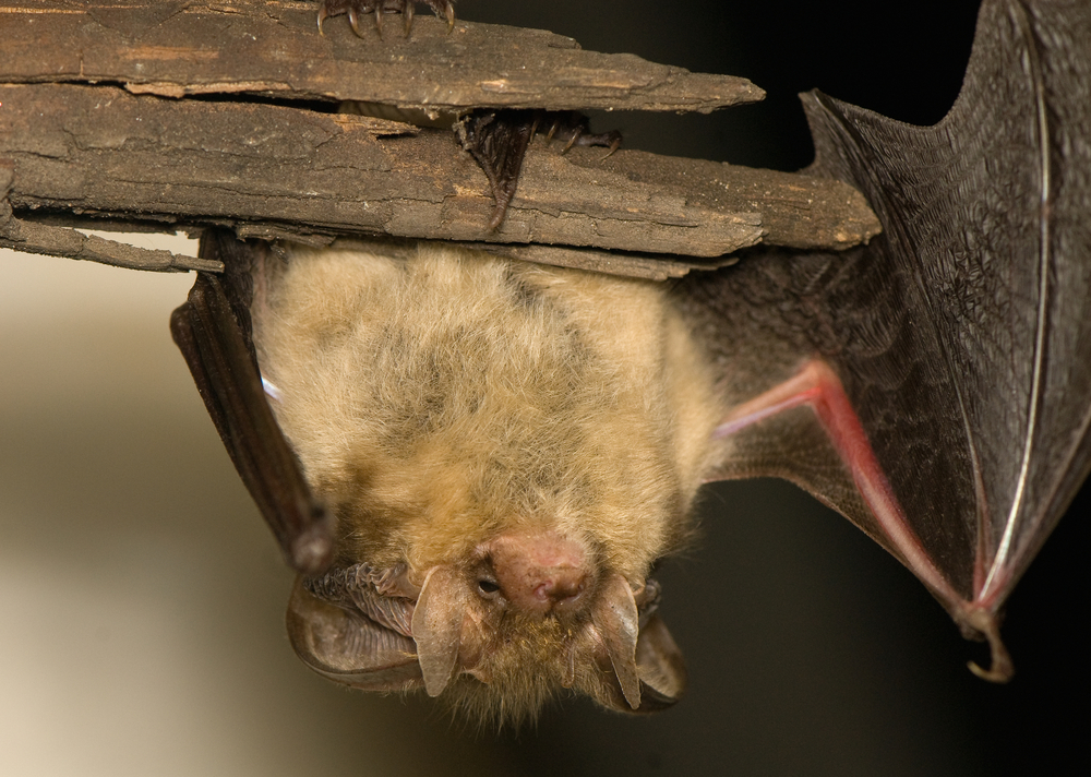Bat Removal In Minnesota Complete Ground Control