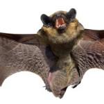 bat_WB