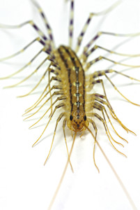 centipede close up
