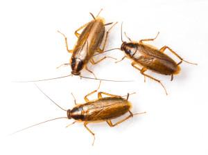 cockroaches german white backround